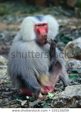 Photo stock: Portrait · adulte · Homme · babouin · mer · singe