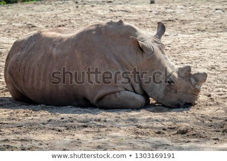 Grey rhino lying on sand Stock photo © asturianu