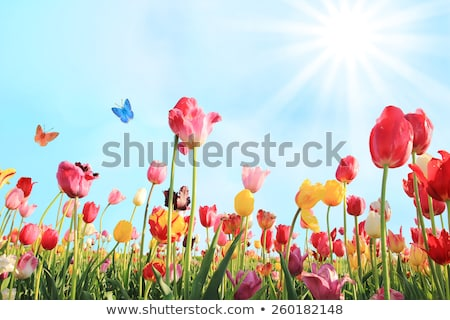 Stock photo: Beautiful Red Tulips in the Field. Spring Flowers