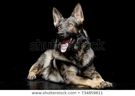 Black German shepherd in the dark studio Stock photo © vauvau