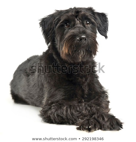 mixed breed wired hair dog looking  in white studio Stock photo © vauvau