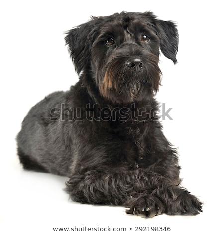 雜 頭髮 狗 看 白 商業照片 © vauvau