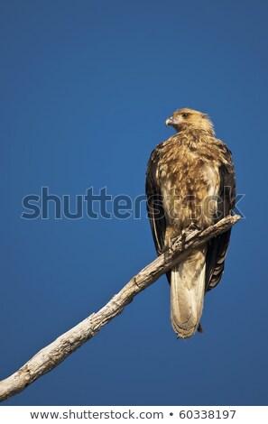кайт полет Квинсленд Австралия природы птица Сток-фото © dirkr
