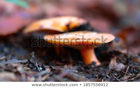 Mushrooms hidden in the forest and undergrowth Stock photo © Ustofre9
