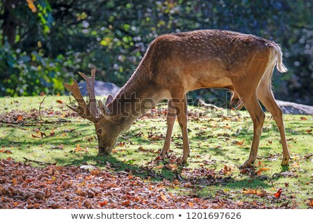 Male fallow deer browsing in the forest Stock photo © manfredxy