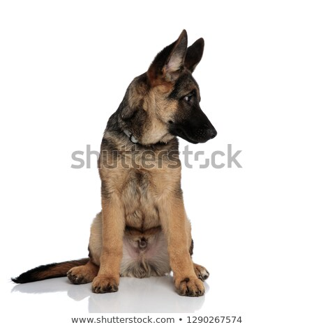 curious german shepard looks down to side while sitting Stock photo © feedough