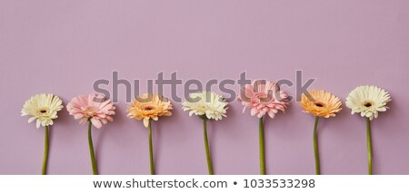 Spring composition pattern from fresh fragrant gerberas in a color of Living Coral Pantone on a same Stock photo © artjazz