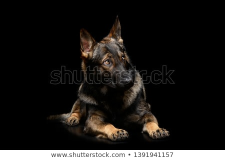 Studio shot of an adorable German shepherd Stock photo © vauvau