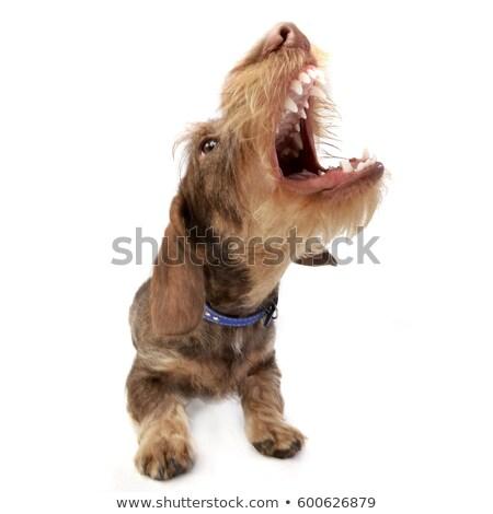 Wide angle shot of a barking Dachshund Stock photo © vauvau
