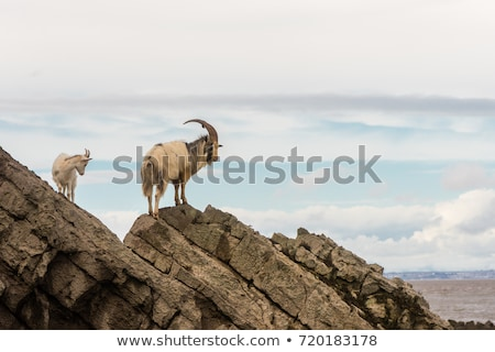 billy mountain goat on a cliff stock photo © photoblueice