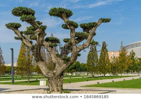 olive grove 27 Stock photo © LianeM