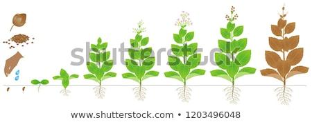 Tabac plantes jeunes croissant domaine Thaïlande Photo stock © smithore