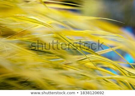golden variegated hakone grass Stock photo © devon