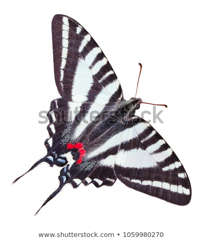 Zebra Swallowtail Butterfly Stock photo © macropixel