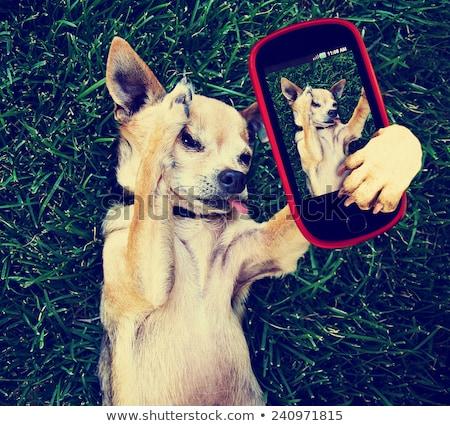 Cute Chihuahua Dog Photo On Mobile Phone Stock photo © stuartmiles