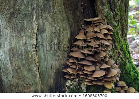 Venenoso cogumelos muitos molhado outono madeira Foto stock © saicle
