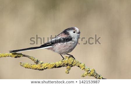 Longo teta natureza pássaro Foto stock © chris2766