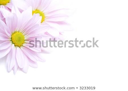 lavender petals highkey isolated Stock photo © alptraum