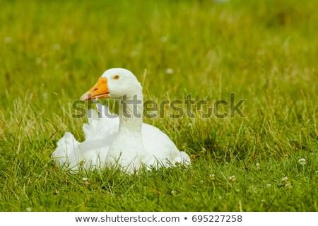 Goose On Green Grass Stock photo © ryhor