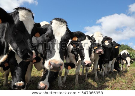 holstein cow looking at the camera Stock photo © taviphoto