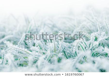 frozen grass at the meadow stock photo © meinzahn
