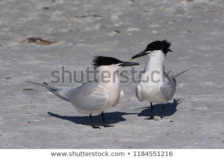 Szendvics madár tél repülés vadvilág Stock fotó © chris2766