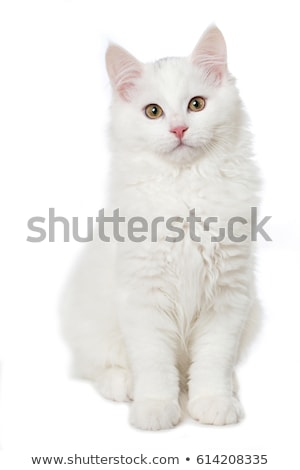 A sitting cat isolated on white stock photo © meinzahn