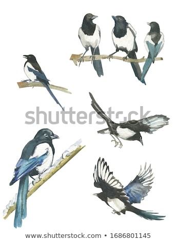 eurasian magpie in hand stock photo © cynoclub