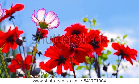 георгин цветок лист саду зеленый красный Сток-фото © LianeM
