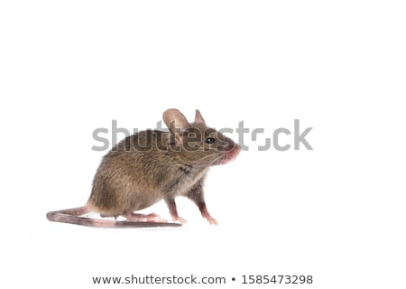 fare · yalıtılmış · beyaz · doğa · hayvan - stok fotoğraf © konturvid