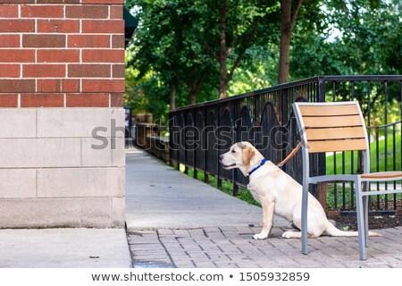 Labrador retriever sessão terraço decorado rosa aniversário Foto stock © dash