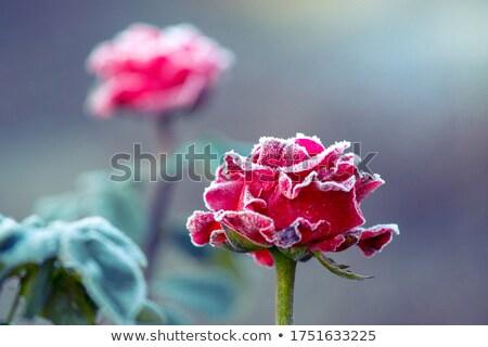 закрывается мороз цветок зима завода Азии Сток-фото © razvanphotos