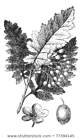 Stock photo: White Ash or Fraxinus americana vintage engraving