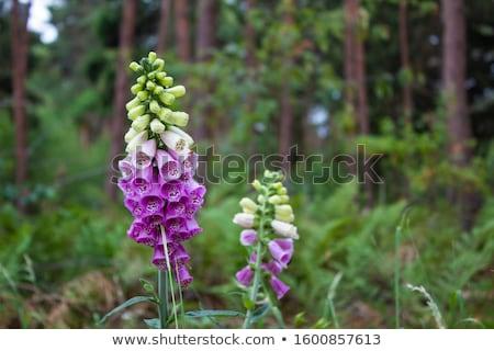 digitalis flower on green background stock photo © compuinfoto