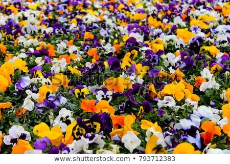 Parterre de fleurs fleurs laisse ensoleillée matin fleur Photo stock © hraska