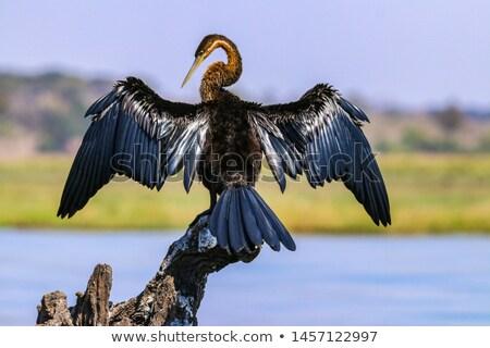 African Darter Bird Botswana Stock photo © THP