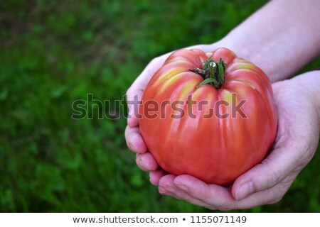 A big ripe tomato Stock photo © bluering