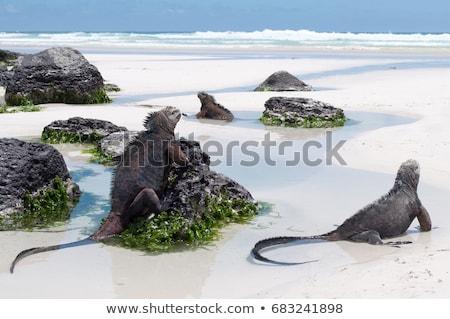 marinha · iguana · praia · Santiago · ilha · parque - foto stock © meinzahn