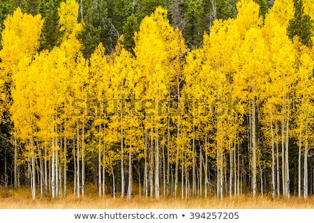 pine and aspen trees in fall stock photo © pictureguy