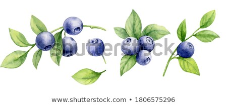 Watercolor illustration of bilberry Stock photo © Sonya_illustrations