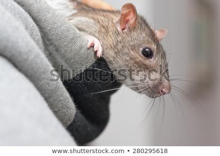 Grijs rat uit vak gezicht Stockfoto © OleksandrO