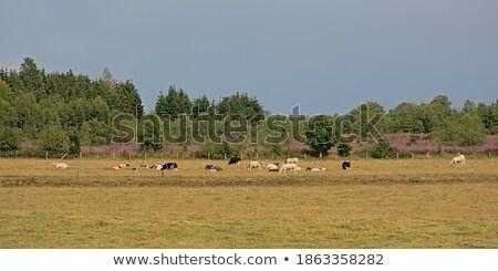 коров трава природы лет области Сток-фото © Enjoylife