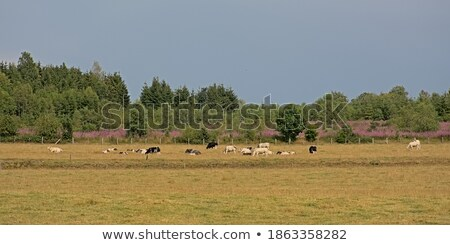 Cows on on farmland in the Ardennes Stock photo © Enjoylife
