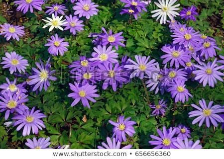 anemone blanda blue shades or grecian windflowers stock photo © bdspn