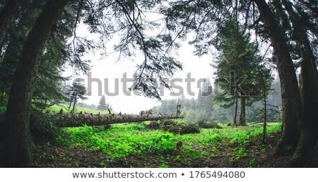 シーン 森林 切り 森 実例 自然 ストックフォト © colematt