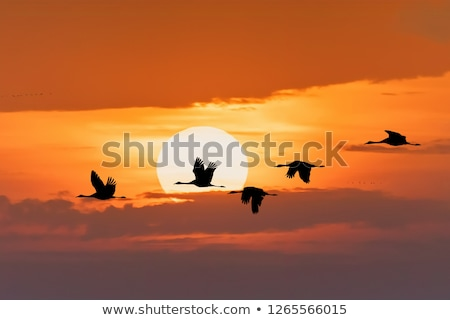 flying flock Common Crane, Hortobagy Hungary Stock photo © artush
