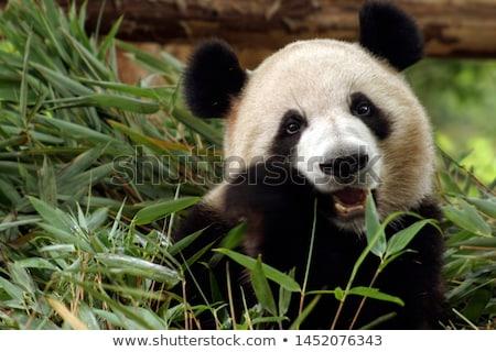 パンダ 食べ 竹 巨人 葉 肖像 ストックフォト © Juhku