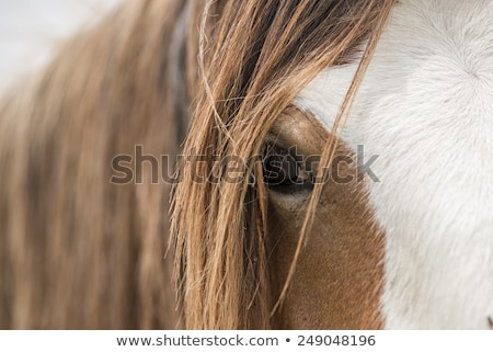 Detail of the head of a draft horse Stock photo © AlessandroZocc
