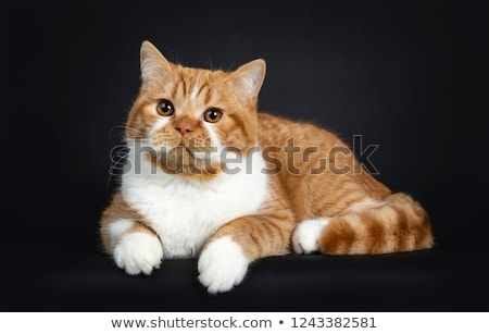 Cute youngster red tabby with white British Shorthair cat kitten stock photo © CatchyImages