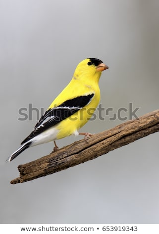 American goldfinch or Spinus tristis isolated on white Stock photo © shawlinmohd